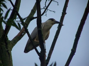 Black-capped night heron waiting for pond access.