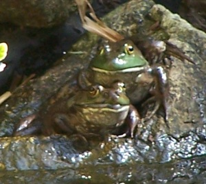 Two medium bullfrogs sit together at the edge of the pond.