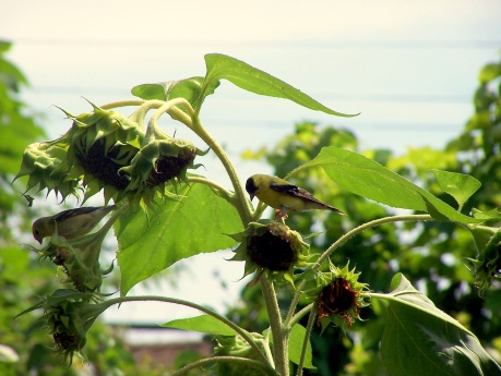 Female and male goldfinch eating from sunflower plants