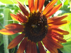 Two Honeybees on Crimson Sunflower