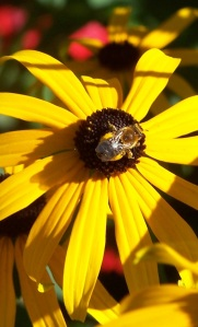 Honeybee on Black-Eyed Susan Flower