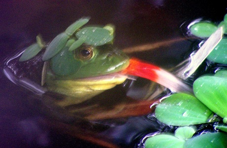 Tommy the Bullfrog with goldfish tail hanging out of mouth.