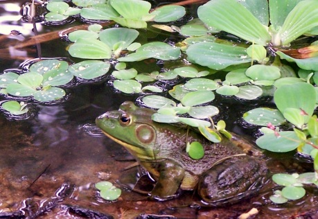 Tommy the Bullfrog, camouflaged by water lettuce, stalks fish.